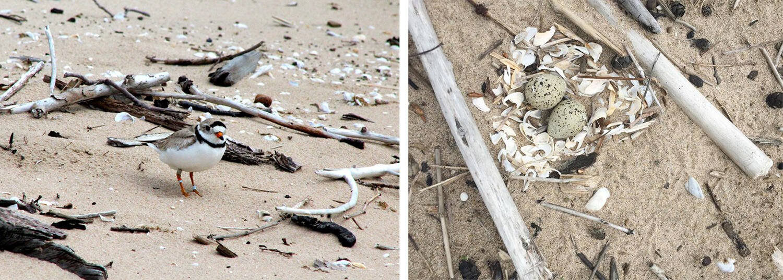 Piping Plover (left) and nest on Lake Ontario. Elizabeth Truskowski/NYSDEC