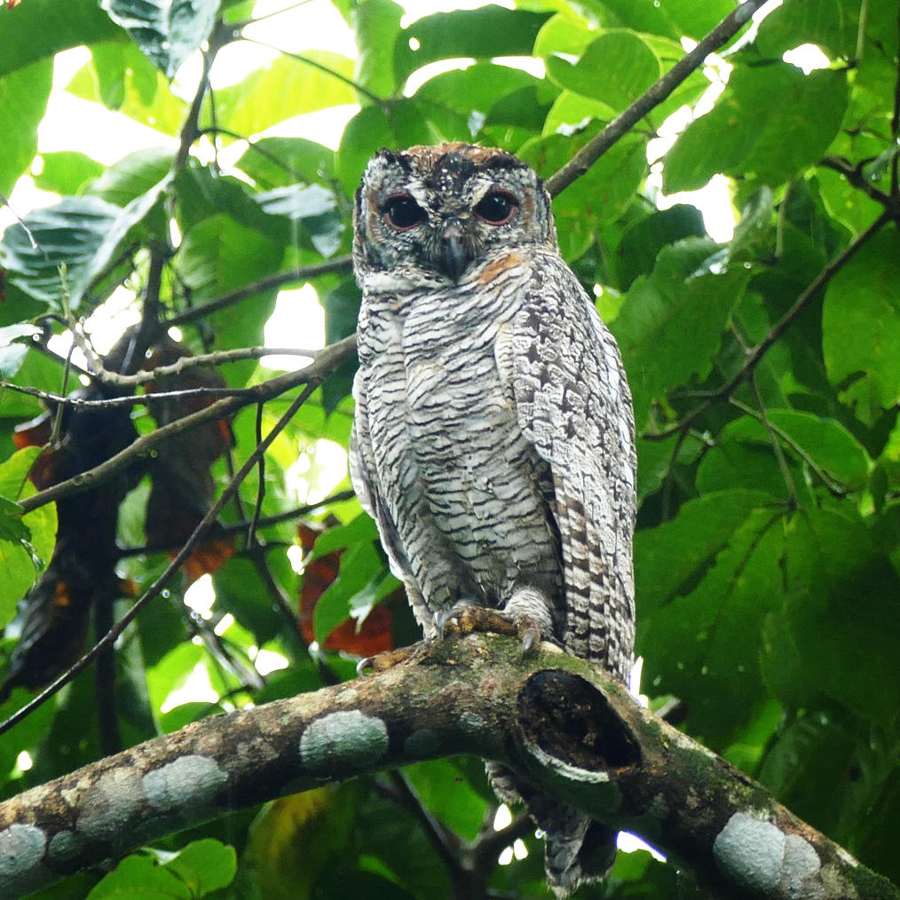 A Mottled Wood-Owl on its day roost. Noah Strycker
