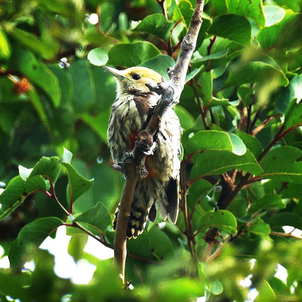 A Yellow-crowned Woodpecker near Masinagudi. Noah Strycker