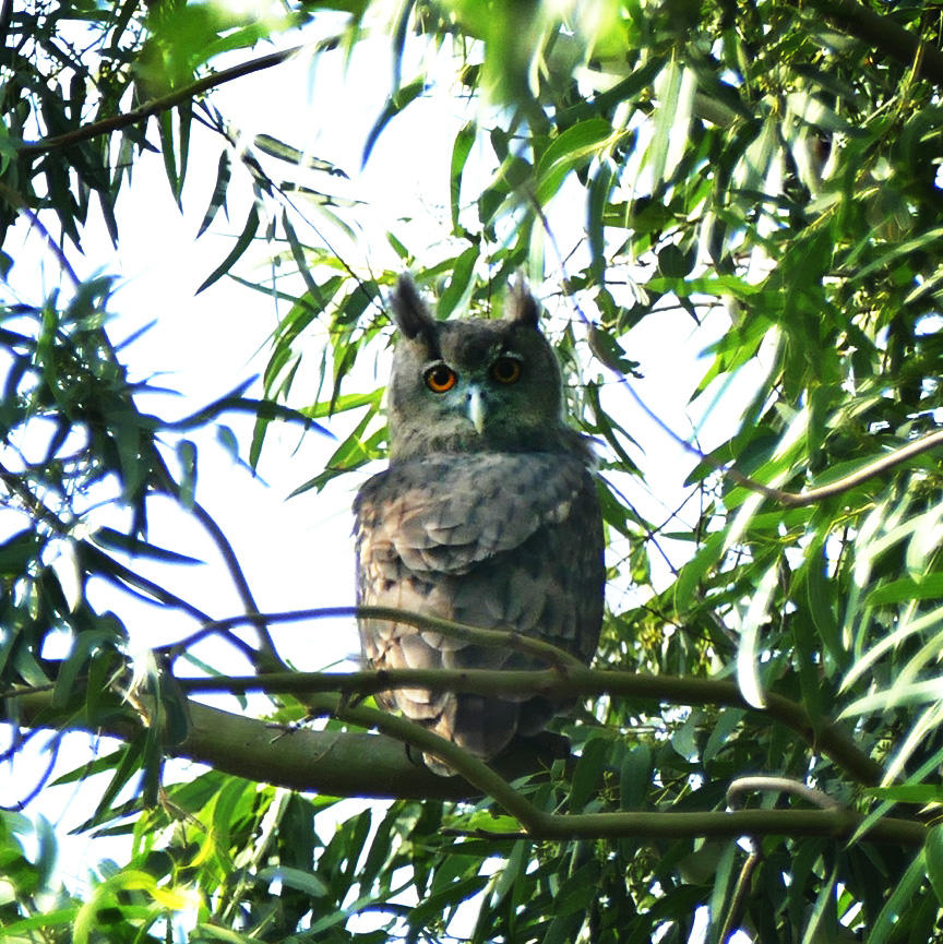 A Dusky Eagle-Owl at its roost site near Dighal. Noah Strycker.