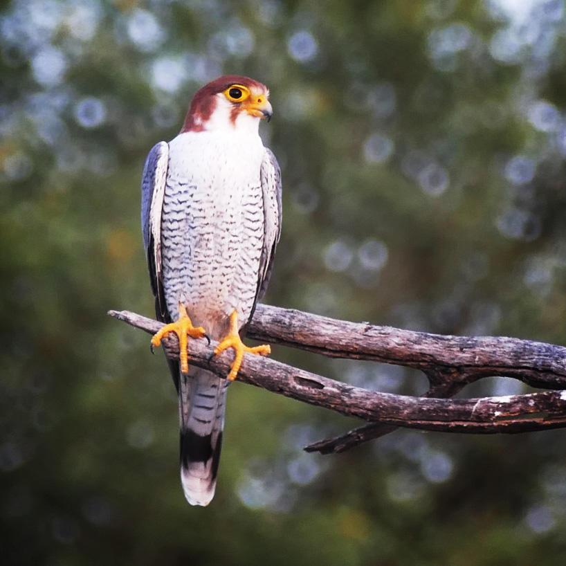 A Red-necked Falcon at Tal Chhapar. Noah Strycker