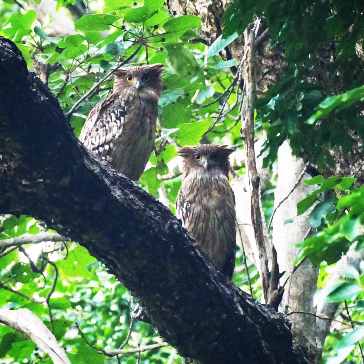 A pair of Brown Fish-Owls roosts in Jim Corbett National Park. Noah Strycker