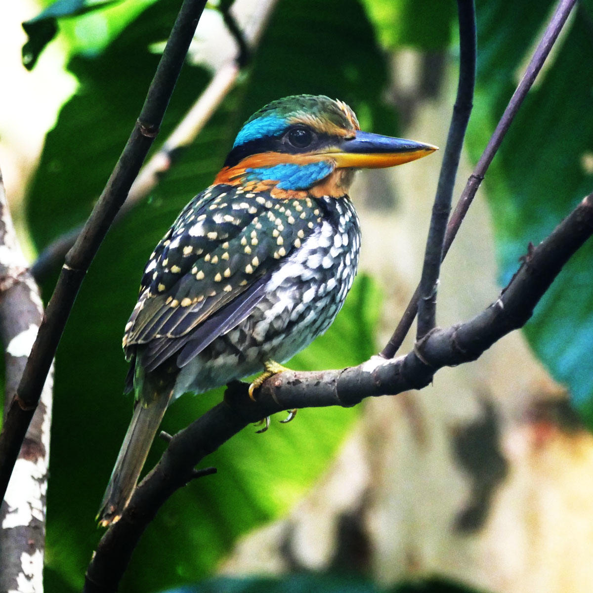 A Spotted Kingfisher perches at La Mesa Ecopark. Noah Strycker
