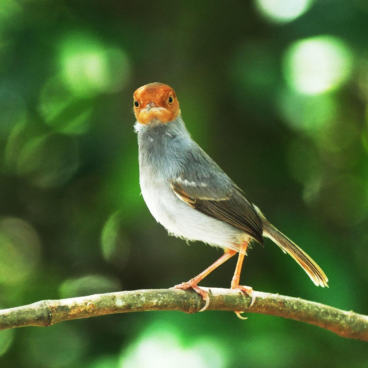 Ashy Tailorbirds are a common mangrove resident in Malaysia. Noah Strycker