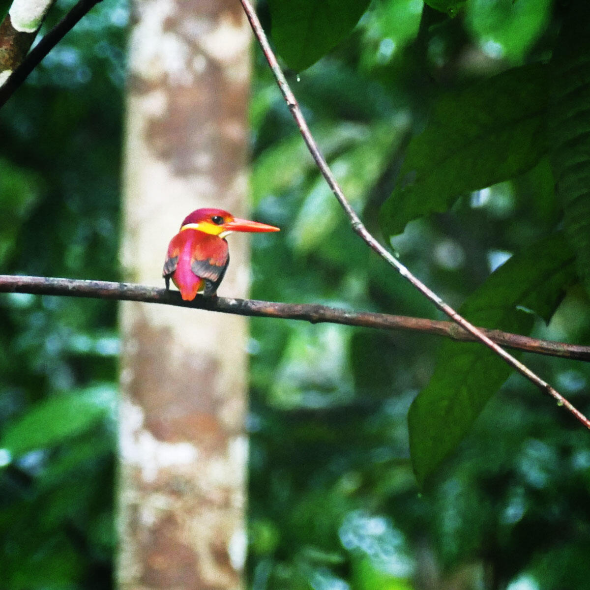 A Rufous-backed Dwarf-Kingfisher puts in an appearance. Noah Strycker