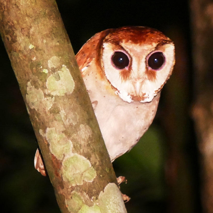 An Oriental Bay-Owl peers out of the forest along the Kinabatangan River. Noah Strycker