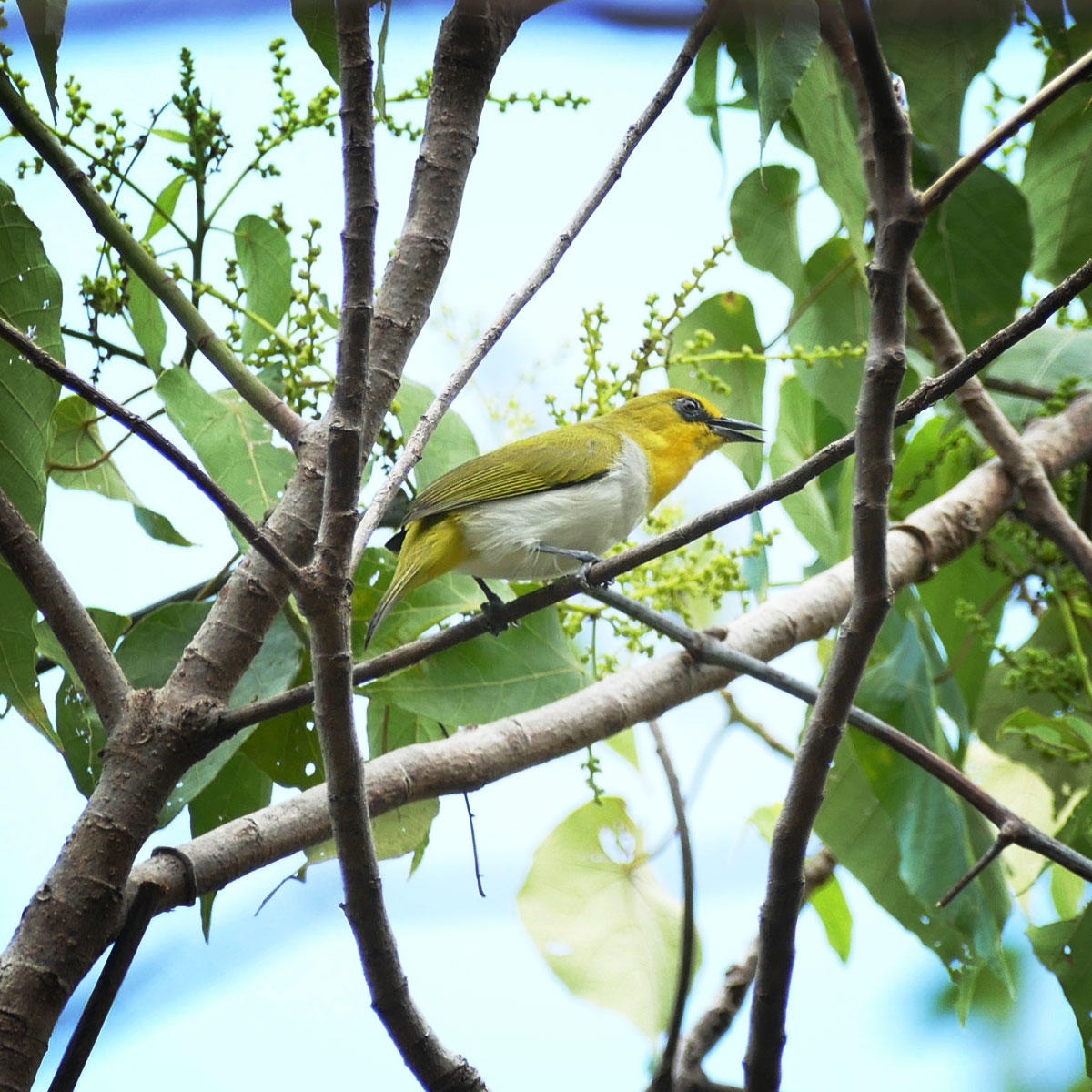 The Black-ringed White-eye is found only in southwest Sulawesi. Noah Strycker