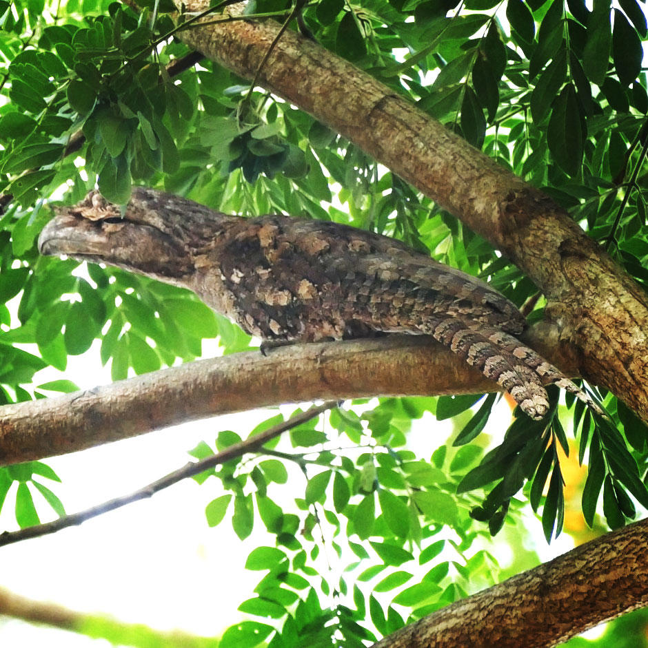 A pair of Papuan Frogmouths was year bird #5,500. Noah Strycker