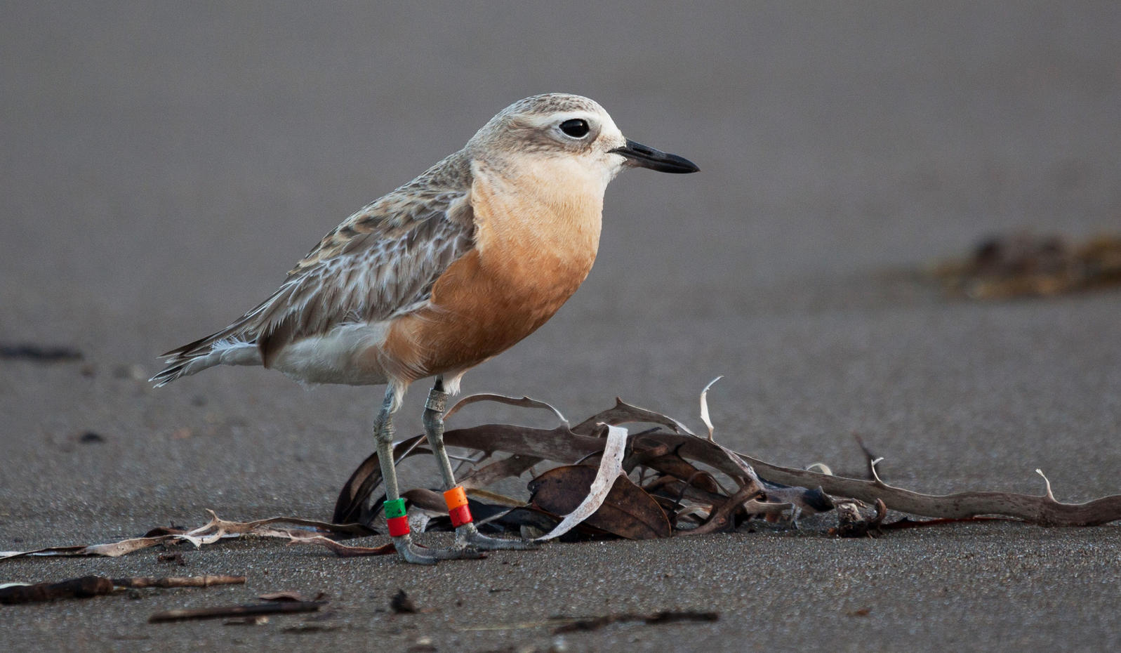 The New Zealand dotterel nests on the beach where Taylor Swift's latest music video was filmed. russellstreet/Flickr Creative Commons