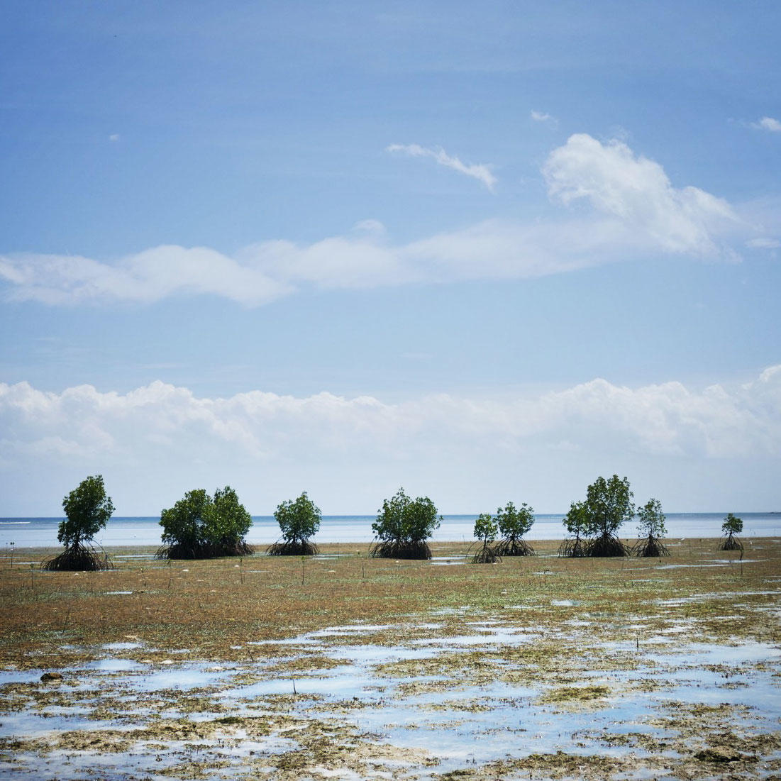 Mangroves stand under blue skies on Palawan, out of reach of Super Typhoon Lando. Noah Strycker