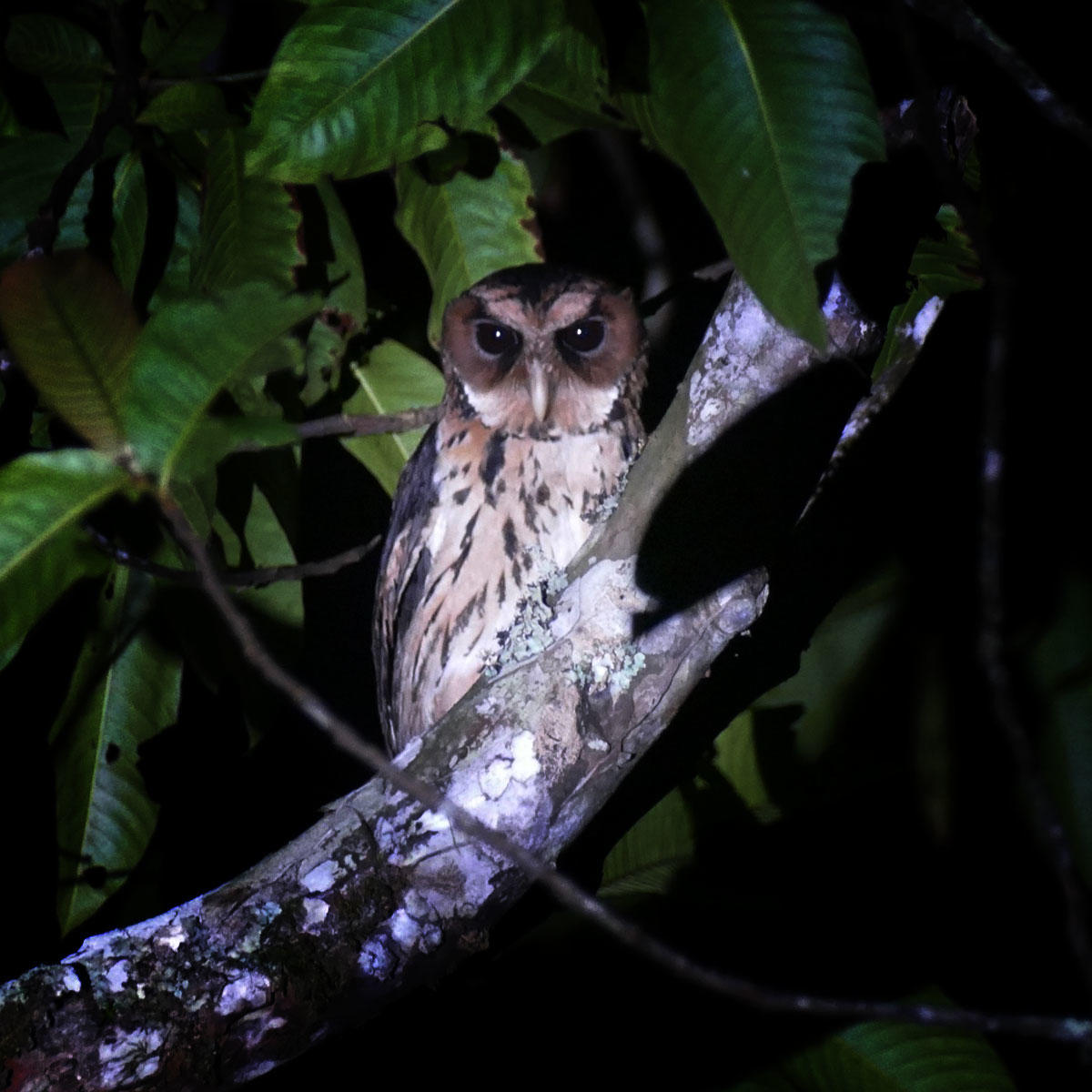 A Giant Scops-Owl appears at the last minute. Noah Strycker
