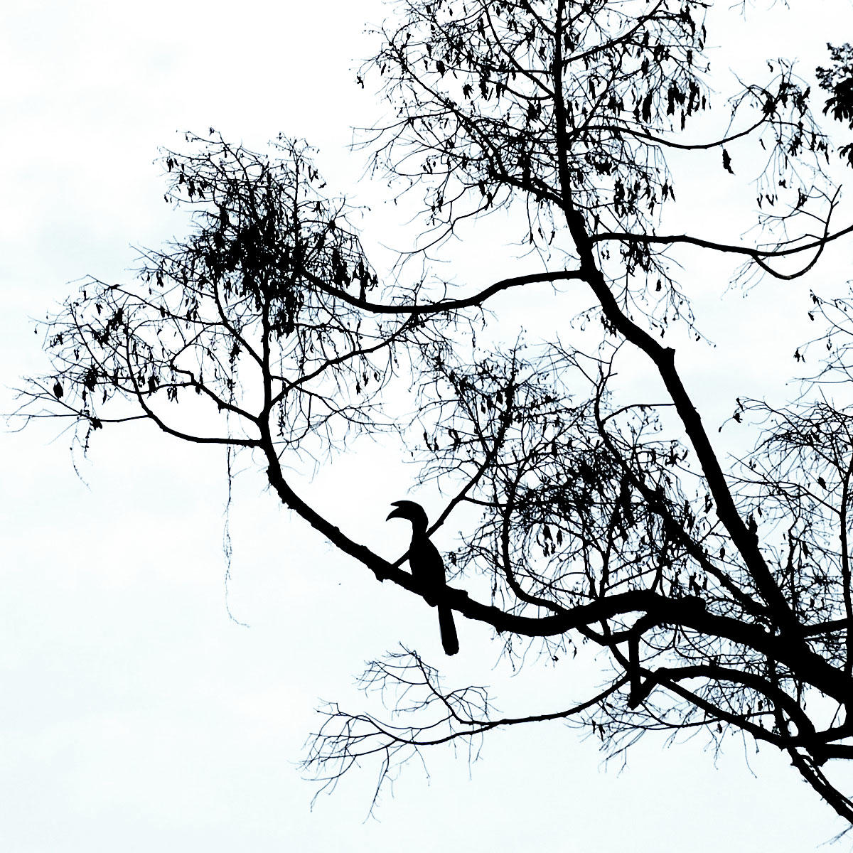 A Black Hornbill perches at dusk in the Krau Forest. Noah Strycker