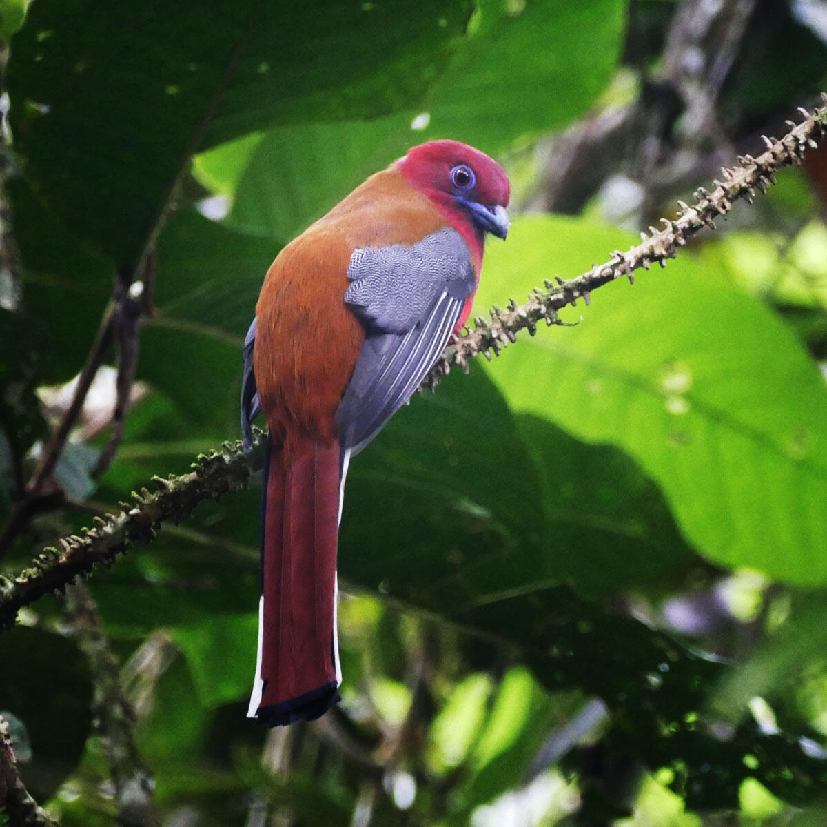 A Red-headed Trogon perches quietly in the forest at Fraser's Hill. Noah Strycker