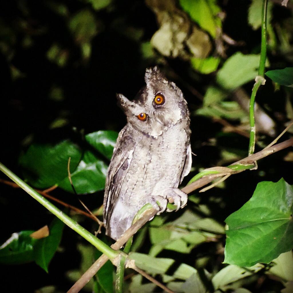 A Philippine Scops-Owl stares down with orange eyes. Noah Strycker