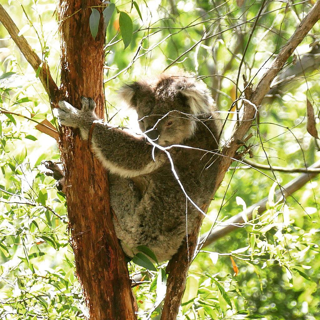 A sleepy koala at Great Otway National Park. Noah Strycker