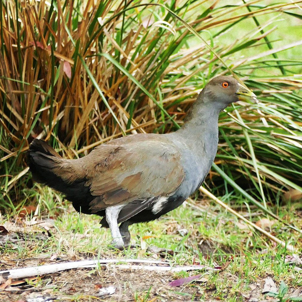 A Tasmanian Native-Hen on Mount Wellington. Noah Strycker