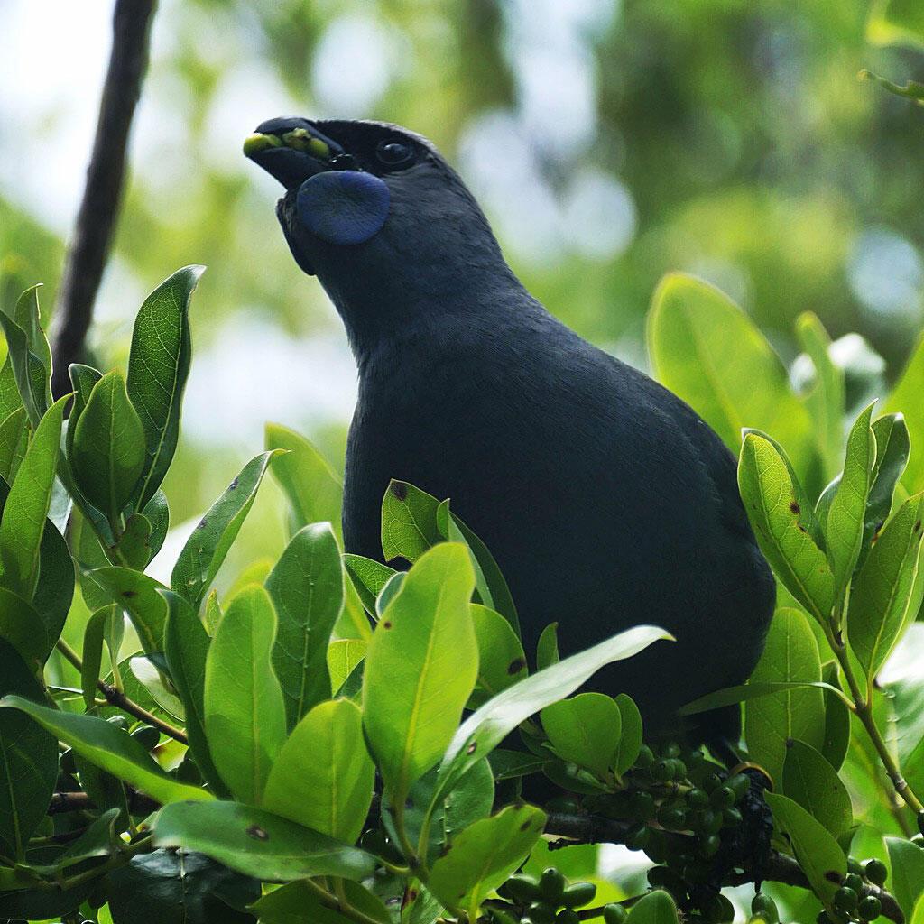 A Kokako named Chatters eats fruits in the regenerated Tiritiri forest. Noah Strycker