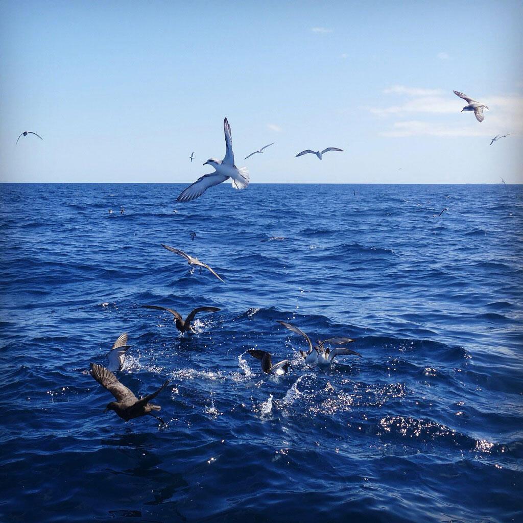 Seabirds gather in the Hauraki Gulf. Noah Strycker