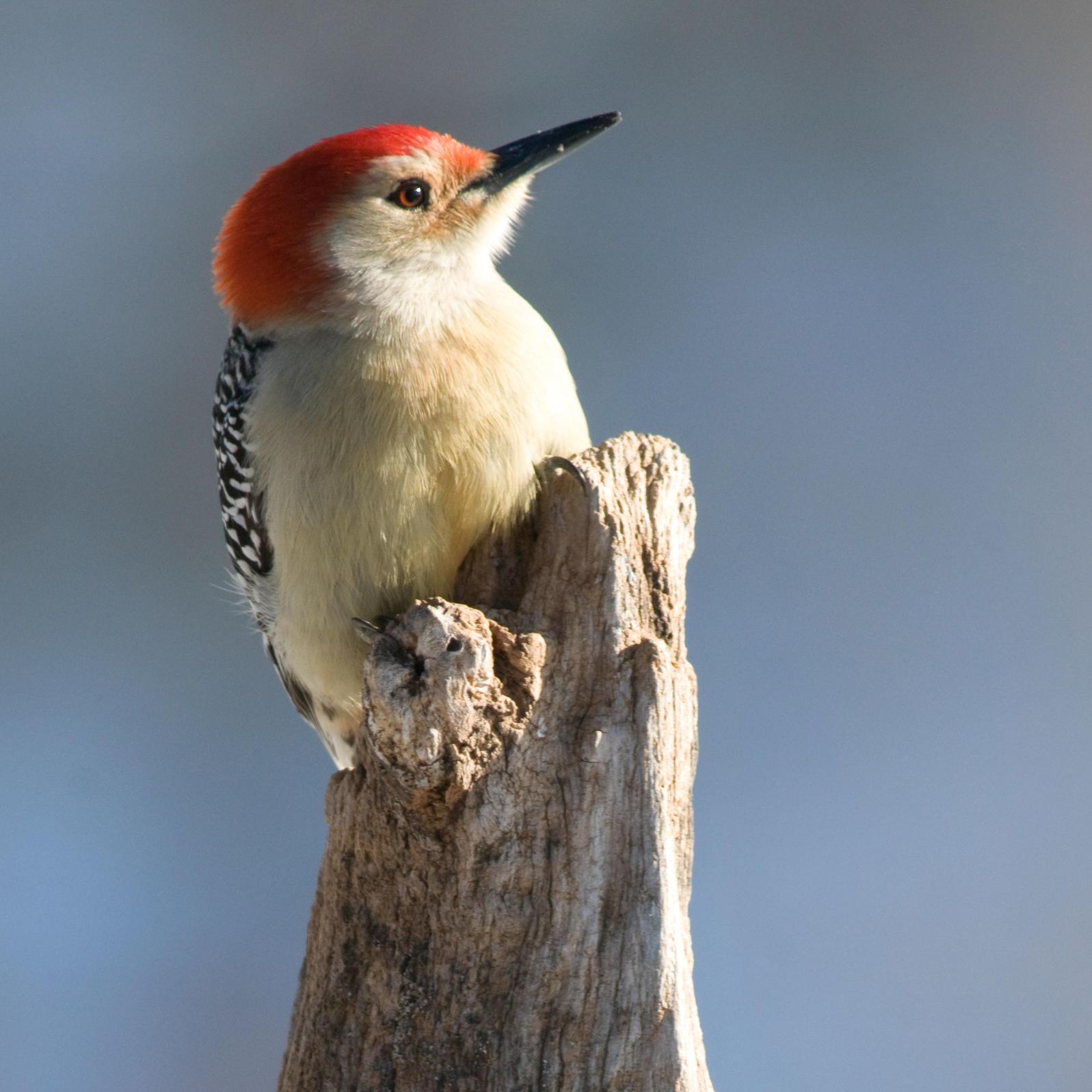 Red-bellied Woodpecker. Michele Black/Great Backyard Bird Count