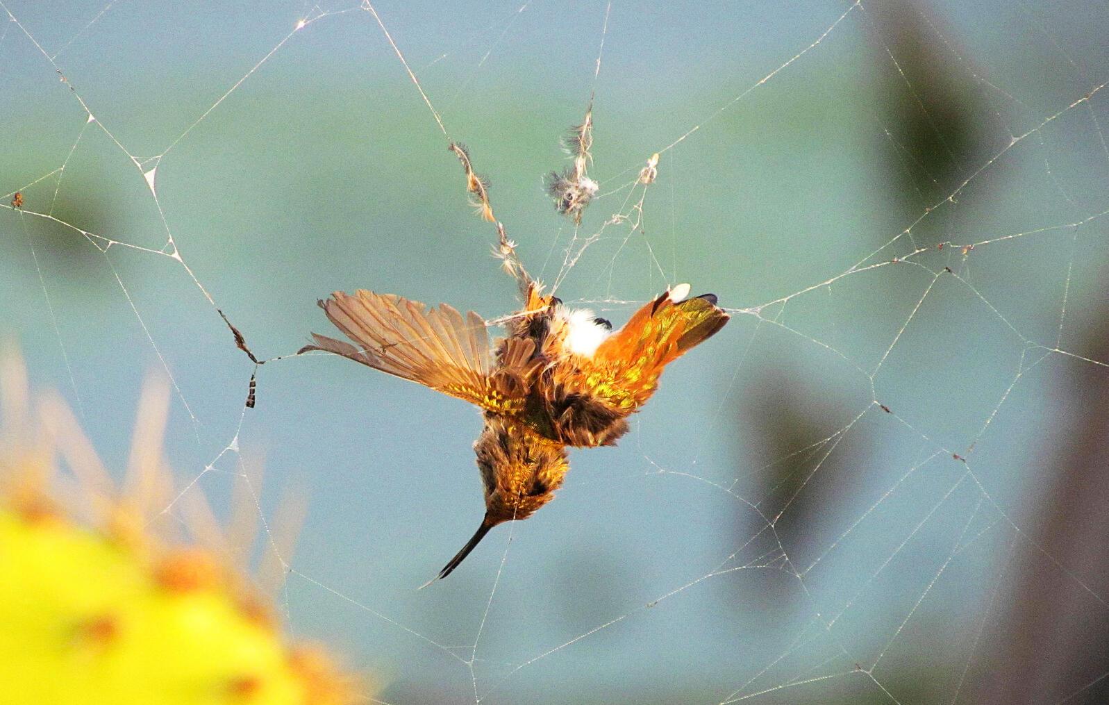 Spider webs can sometimes serve as hummingbird traps, too. Jane Elizabeth Lazarz