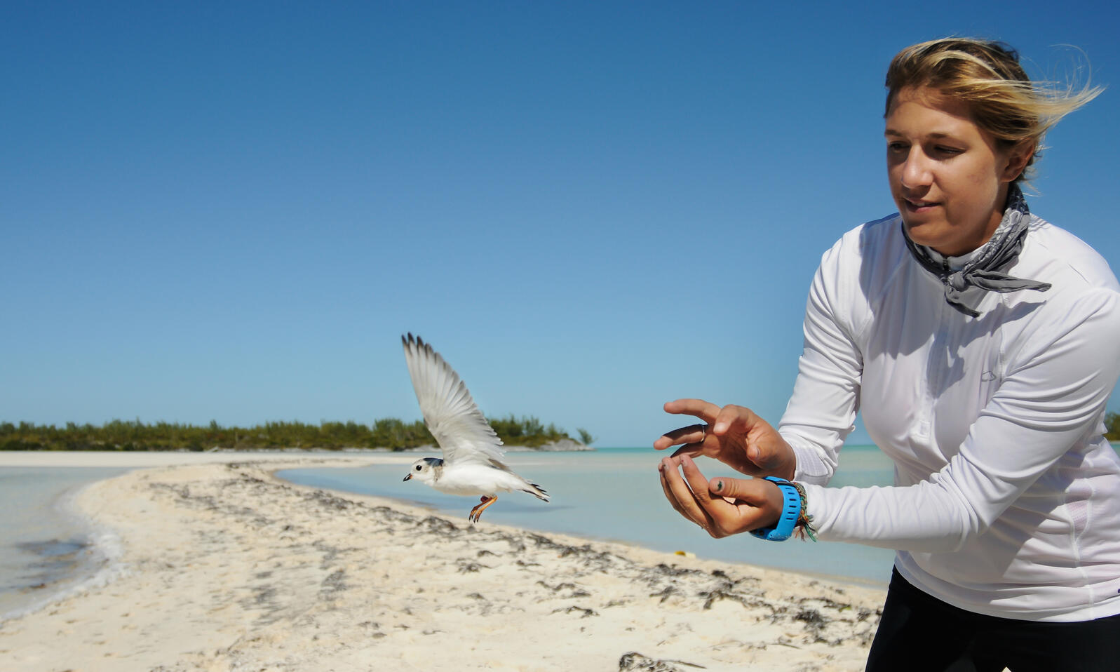 A volunteer releases one of the 26 Piping Plovers banded by an Audubon-led team. Walker Golder/National Audubon Society