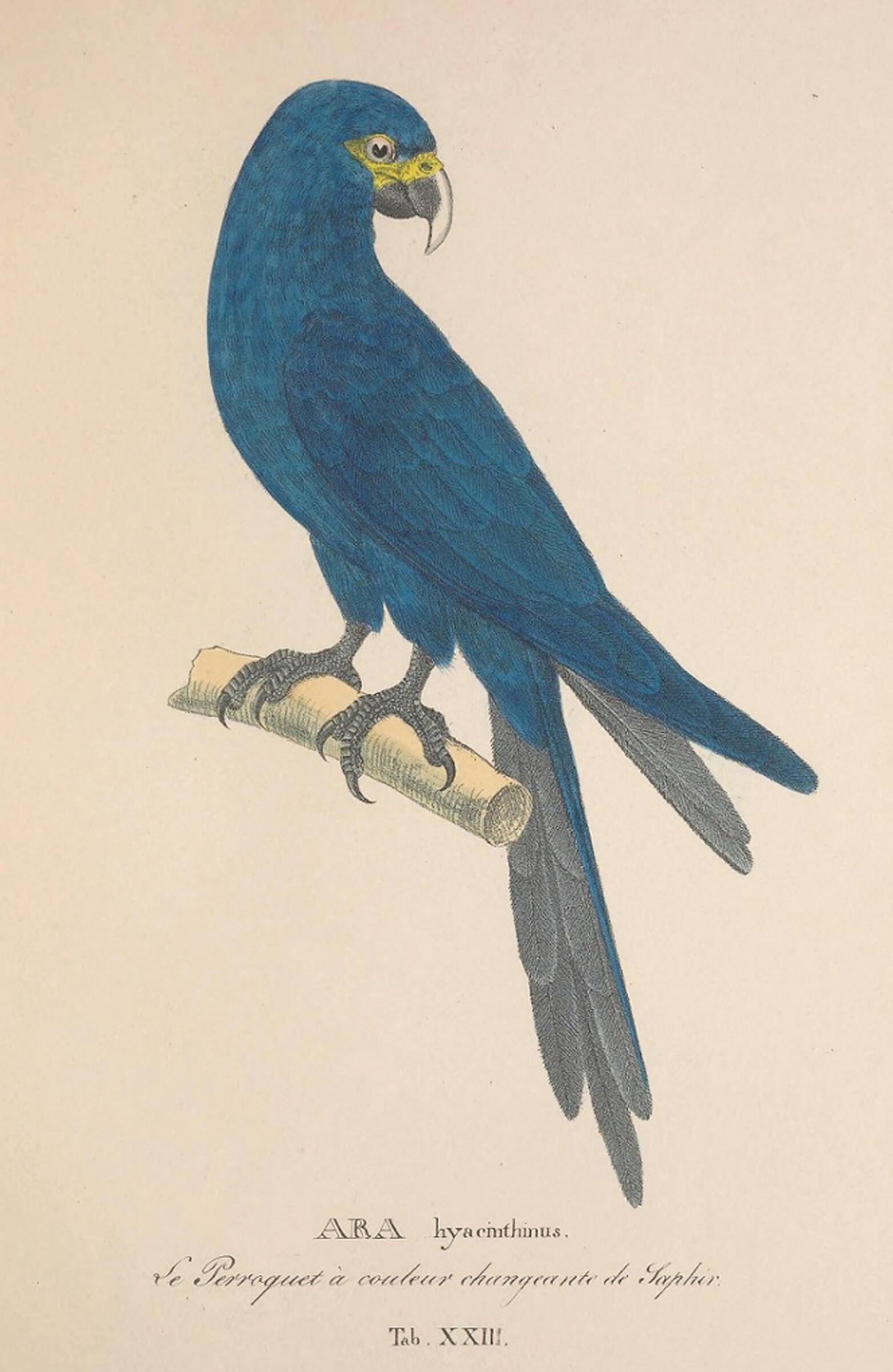 Portrait of a juvenile Spix's Macaw by German biologist Johann Baptist Von Spix, for whom the bird is named.
