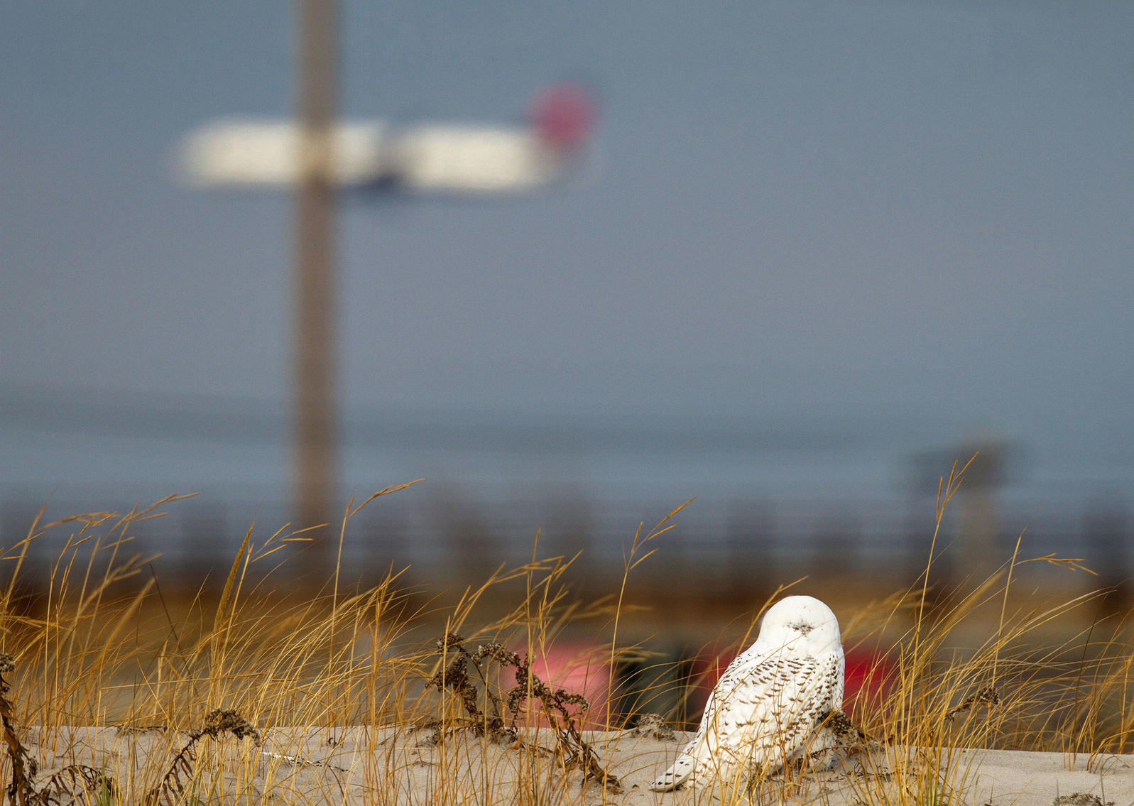 A Snowy Owl on an approach path at John F. Kennedy Airport. The birds often confuse tarmacs with the tundra. Francois Portmann