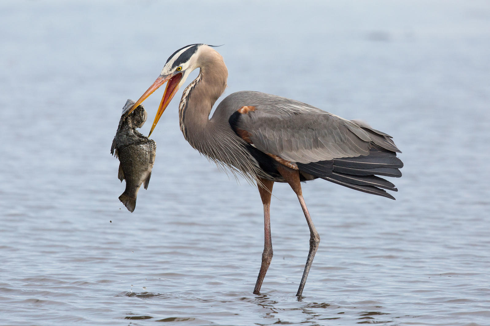 Great Blue Heron. Ashleigh Scully