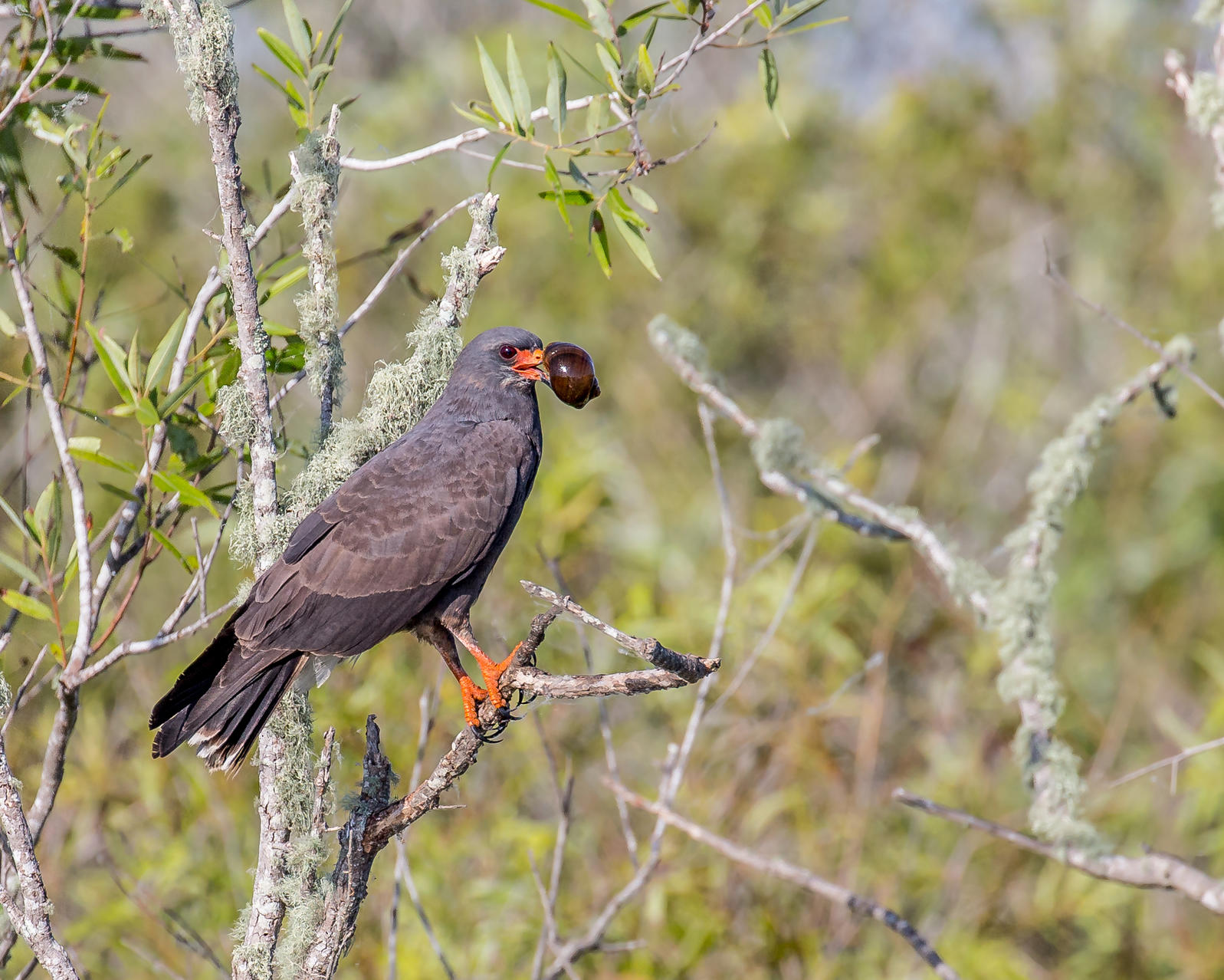 Snail Kite with apple snail | Andy Morffew/Flickr CC (BY-ND 2.0)