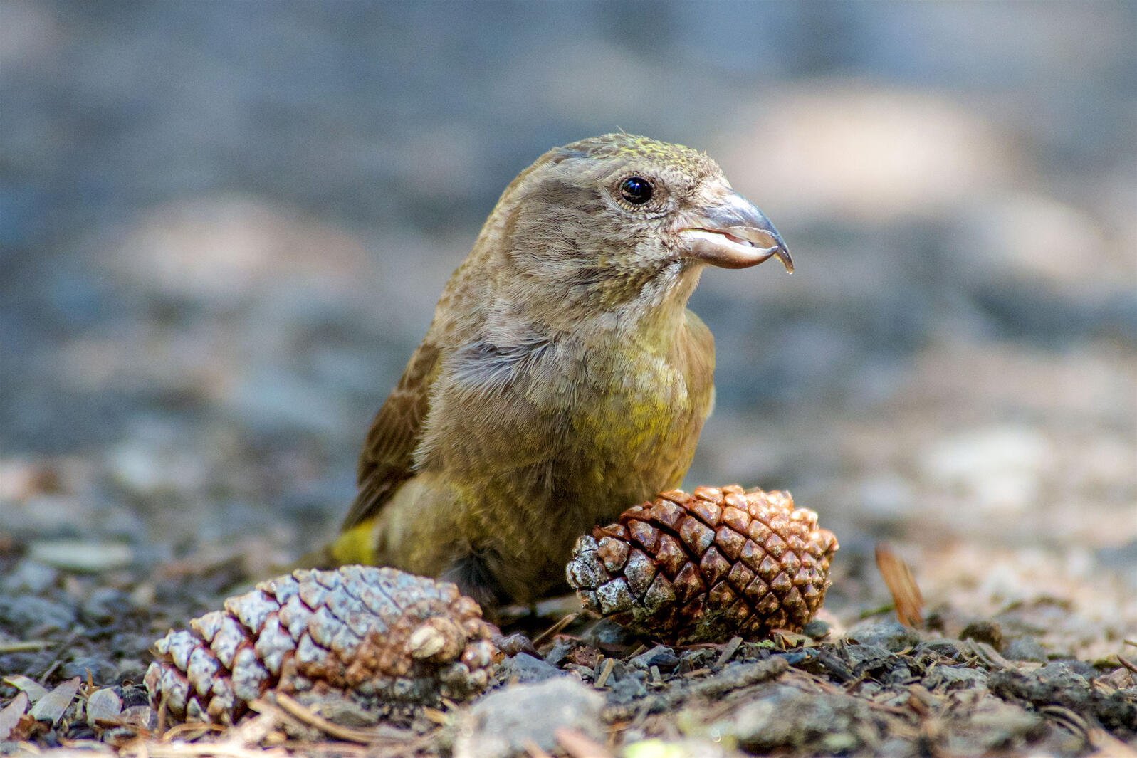 A female Cassia Crossbill, sporting yellow and brown feathers, stands behind two lodgepole pine cones. The species has a twisted bill that wrenches apart pine cone scales to access seeds inside. Craig Benkman