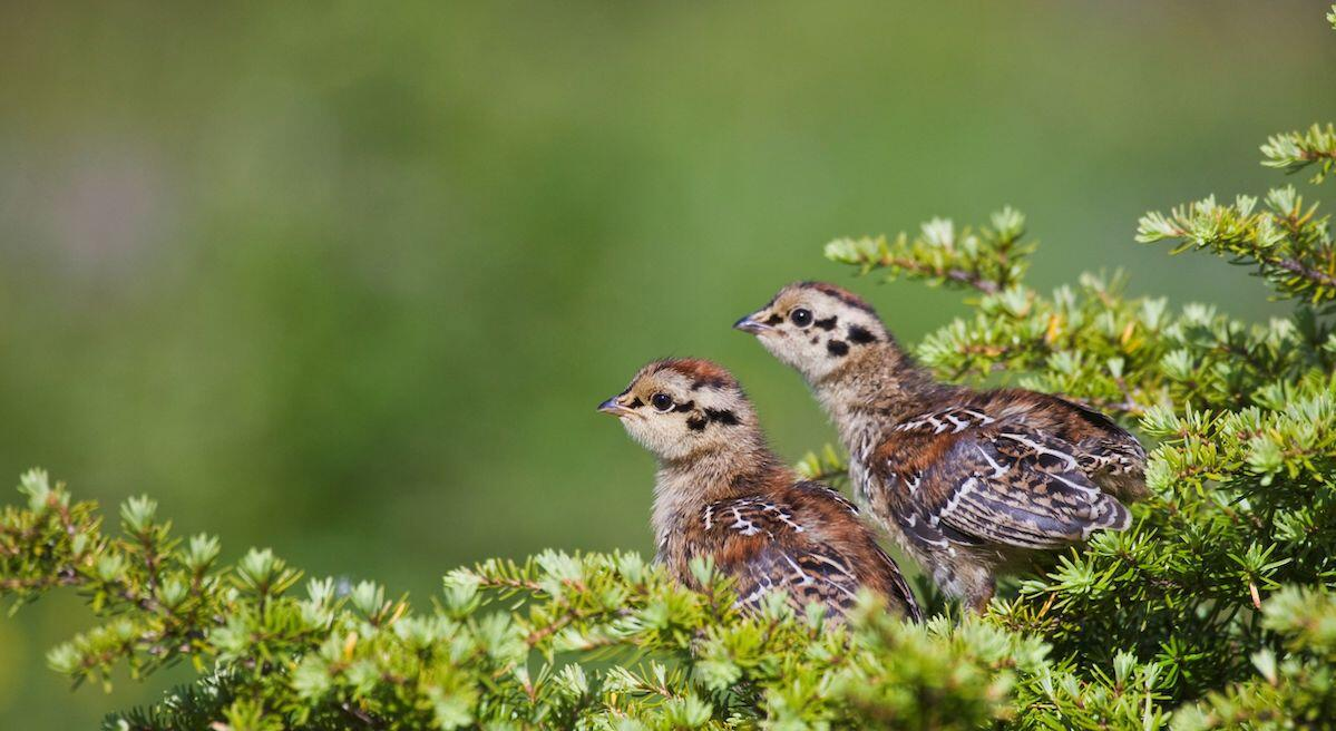 Prince of Wales Spruce Grouse chicks in the Tongass National Forest.