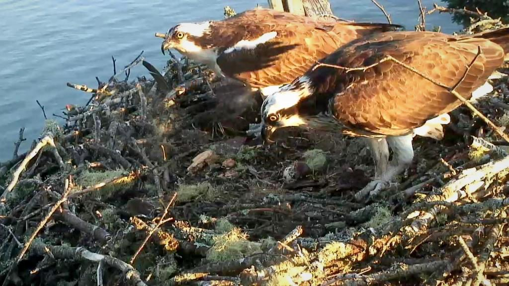 Steve and Rachel remain alone on their nest. Explore.org