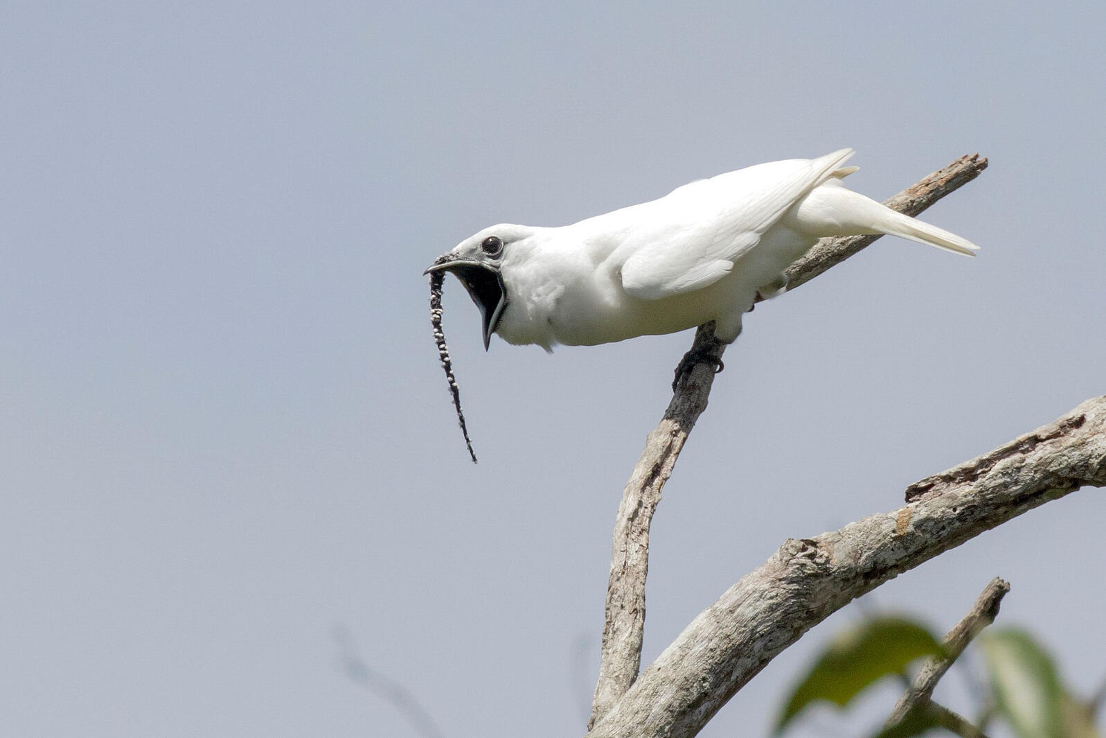 Male White Bellbird screaming mating call. Anselmo d'Affonseca