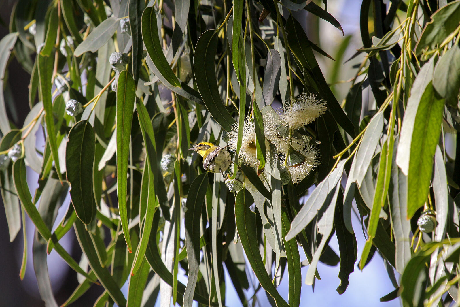 Townsend's Warbler in a Tasmanian Blue Gum in Los Angeles County. Eric Wood