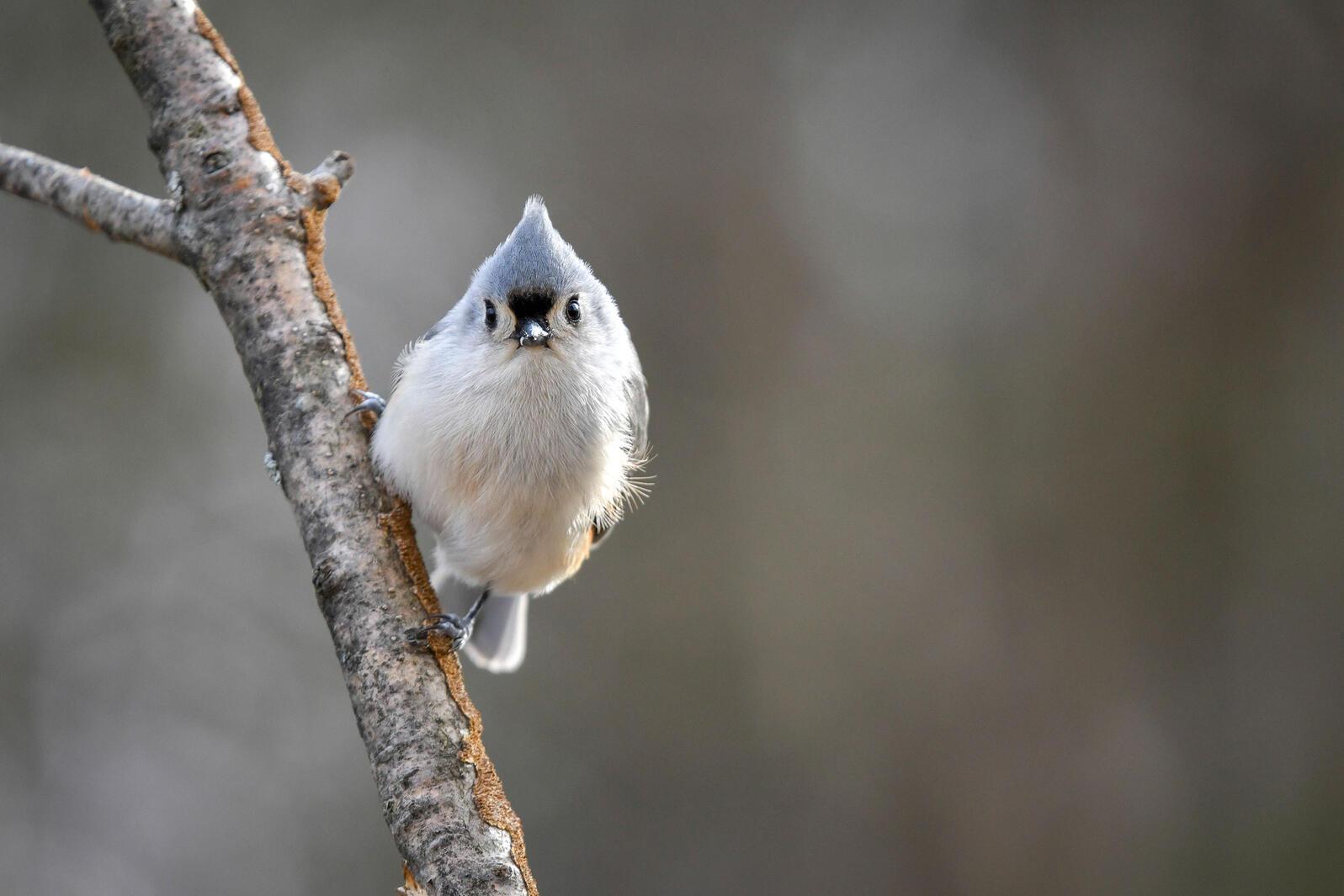 Tufted Titmouse. Deborah Bifulco/Great Backyard Bird Count