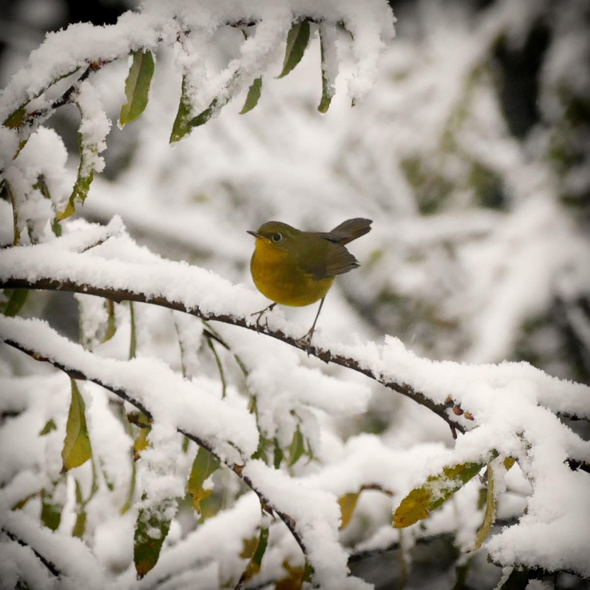A Golden Bush-Robin perches in fresh snow. Noah Strycker