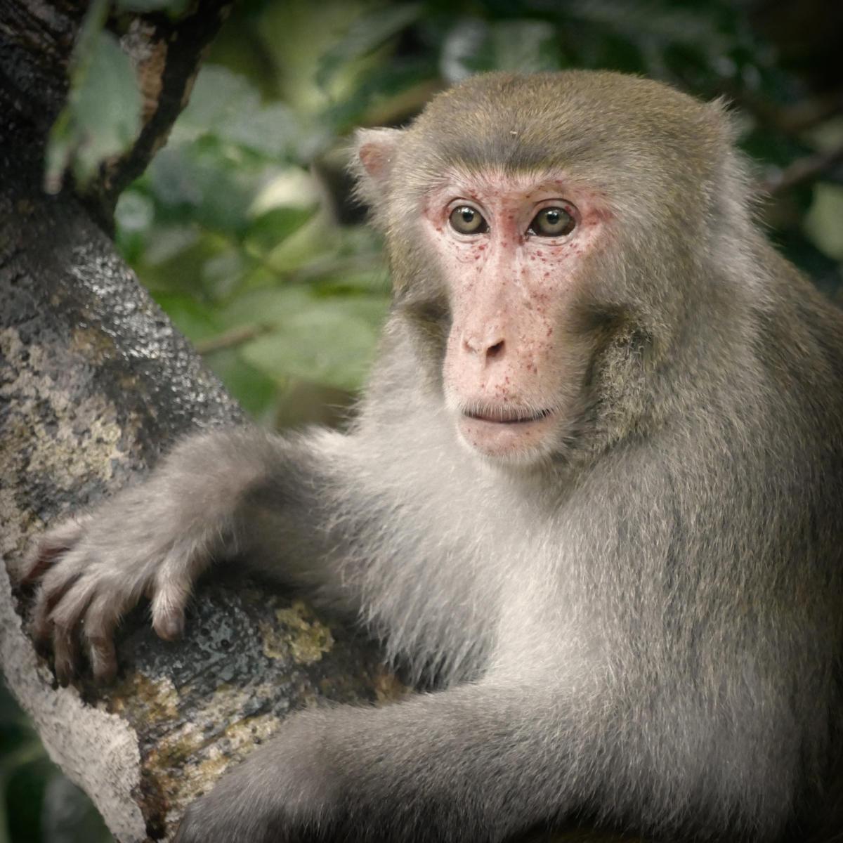 A Rhesus macaque watches Noah watching birds. Noah Strycker