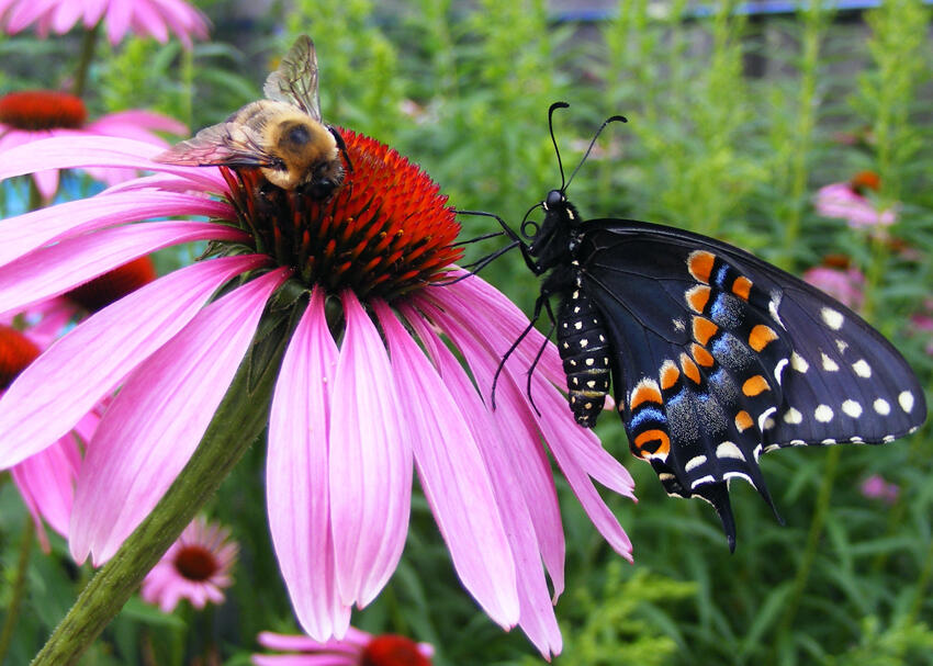 A black swallowtail butterfly shares a purple coneflower with a bee. Photograph by Dwayne Taylor/National Geographic