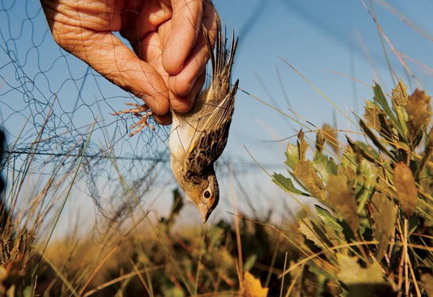 Carefully extracting a Florida Grasshopper Sparrow from a mist net at Kissimmee Prairie Preserve State Park. Joel Sartore