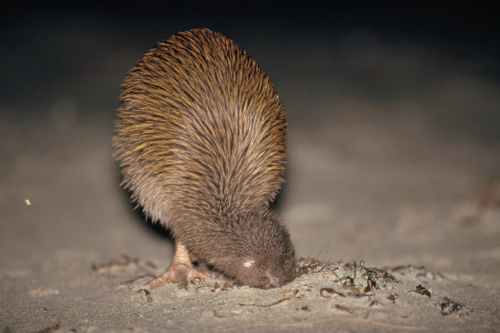 The usually elusive southern brown kiwi is easily seen on Stewart Island's Ocean Beach, where the birds appear in the evening to feed on invertebrates in the wrack line. Tui De Roy / Minden Pictures