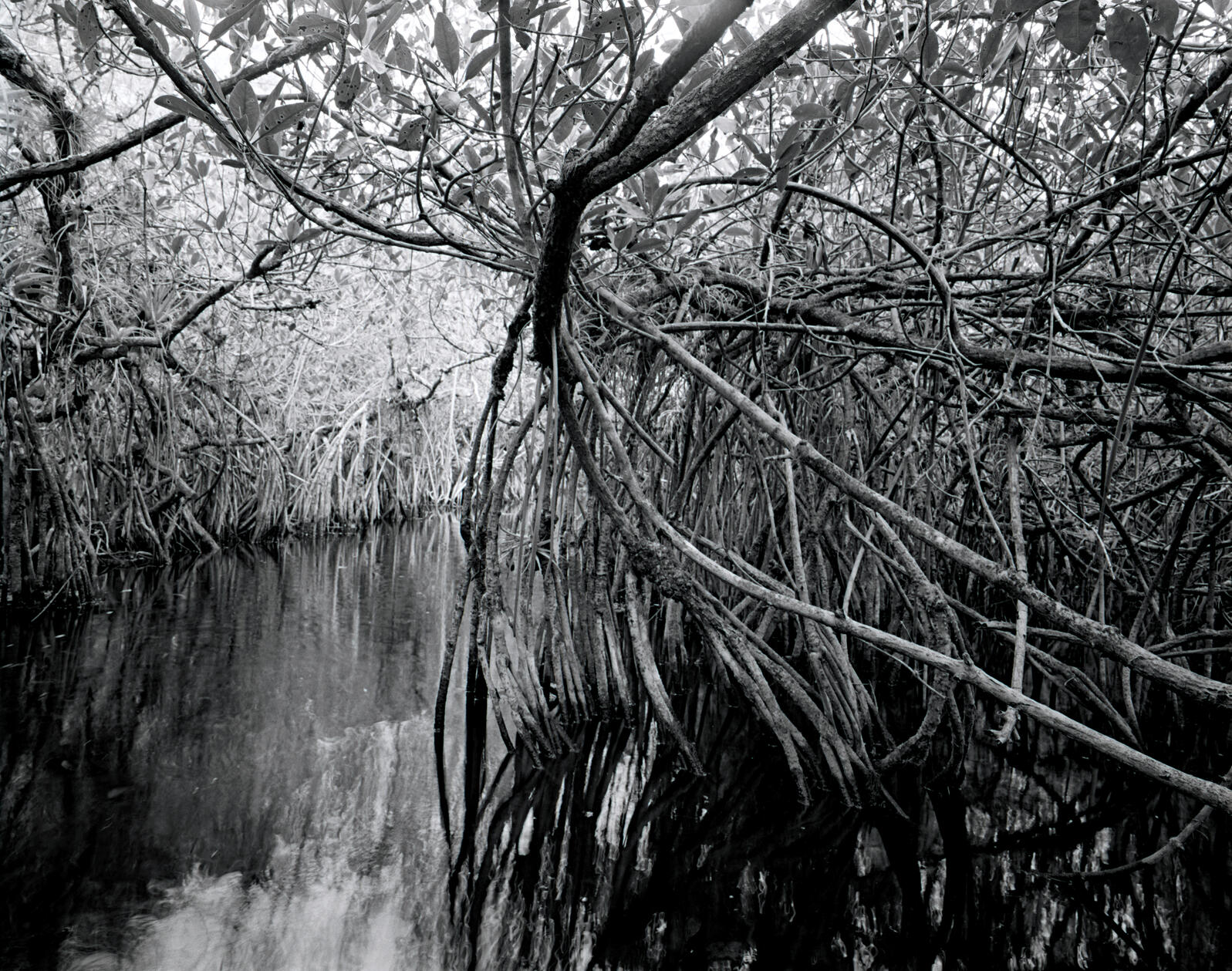 A tunnel formed by red mangroves provides a channel that is likely used by alligators and perhaps an occasional endangered American crocodile. South Florida is the species' last redoubt in this country. Diane Cook & Len Jenshel