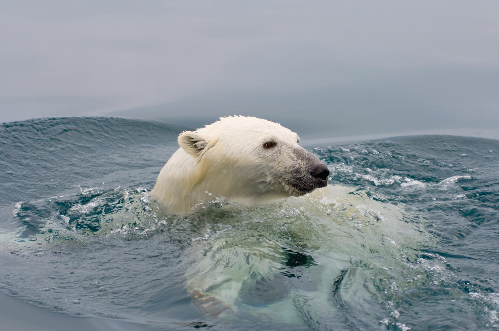Although polar bears are superb swimmers, paddling in open water for too long can make them vulnerable to exhaustion and cold, rough seas. In 2004, 27 bears drowned after a severe storm. Steven Kazlowski/Left Eye Pro