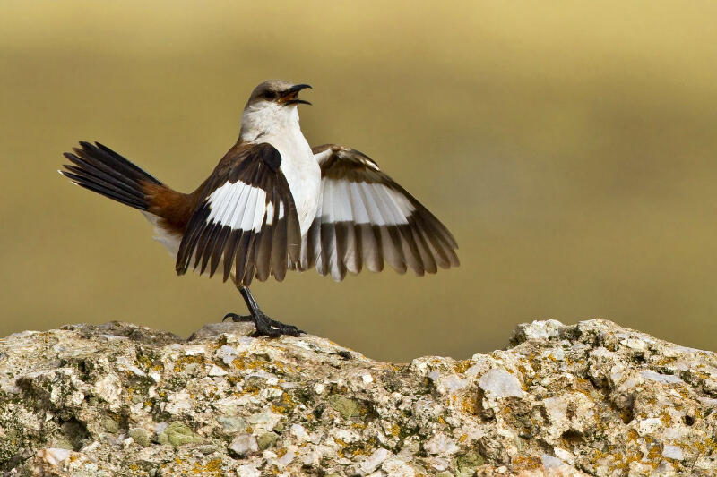 White-bellied cinclodes Photograph by Dubi Shapiro