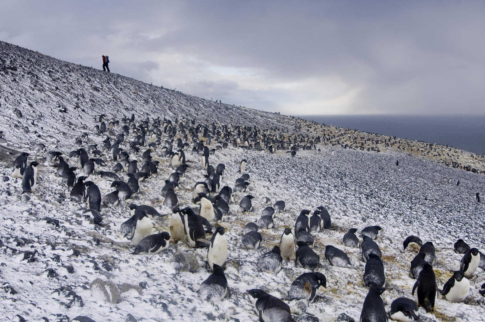 A subcolony of Adélies in fresh snow at Cape Crozier. Chris Linder