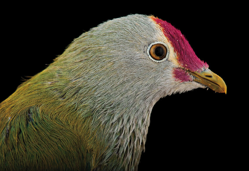 Scientists are investigating how bird populations on Pacific islands affect forest health. Photograph by Joel Sartore