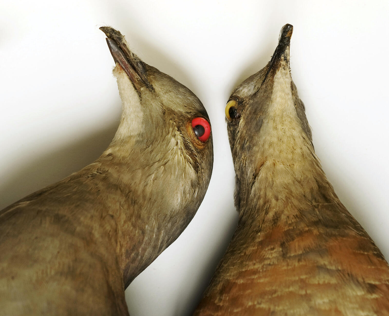 Passenger Pigeon. Field Museum of Natural History, Chicago. Photograph by Marc Schlossman/Panos Pictures