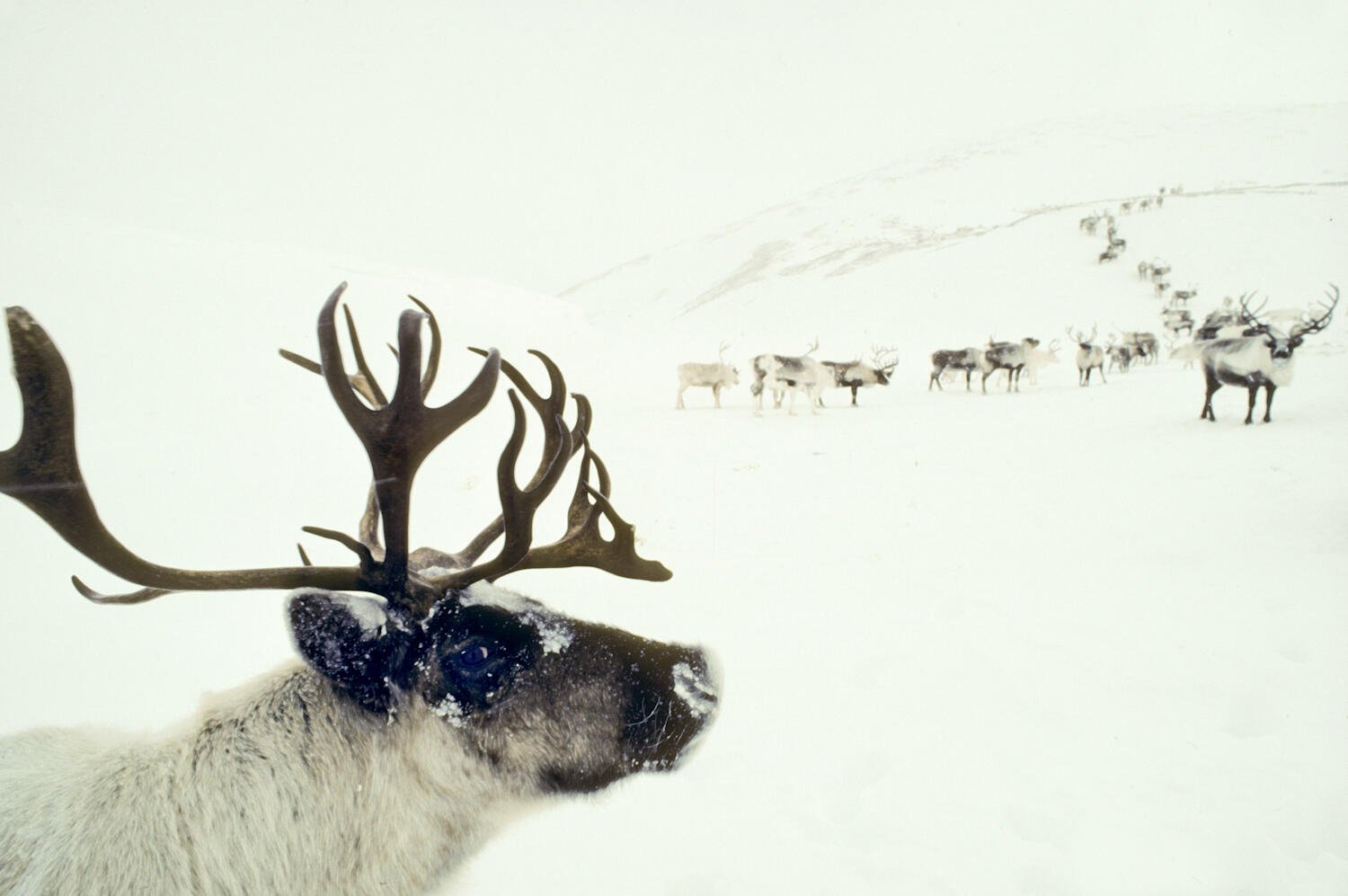 Reindeer in Chukotka Peninsula, Russia Photograph by Natalie Fobes