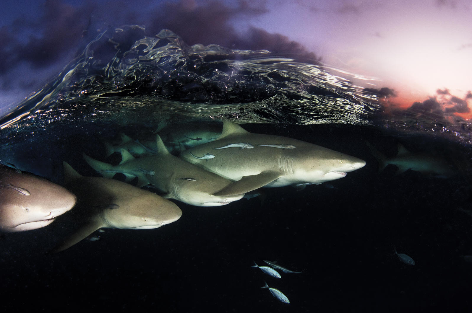 Lemon sharks on patrol. Adult lemons have few predators—save humans. They're a popular sport fish, and their fins are highly prized for shark-fin soup. Photograph by David Doubilet/National Geographic Stock