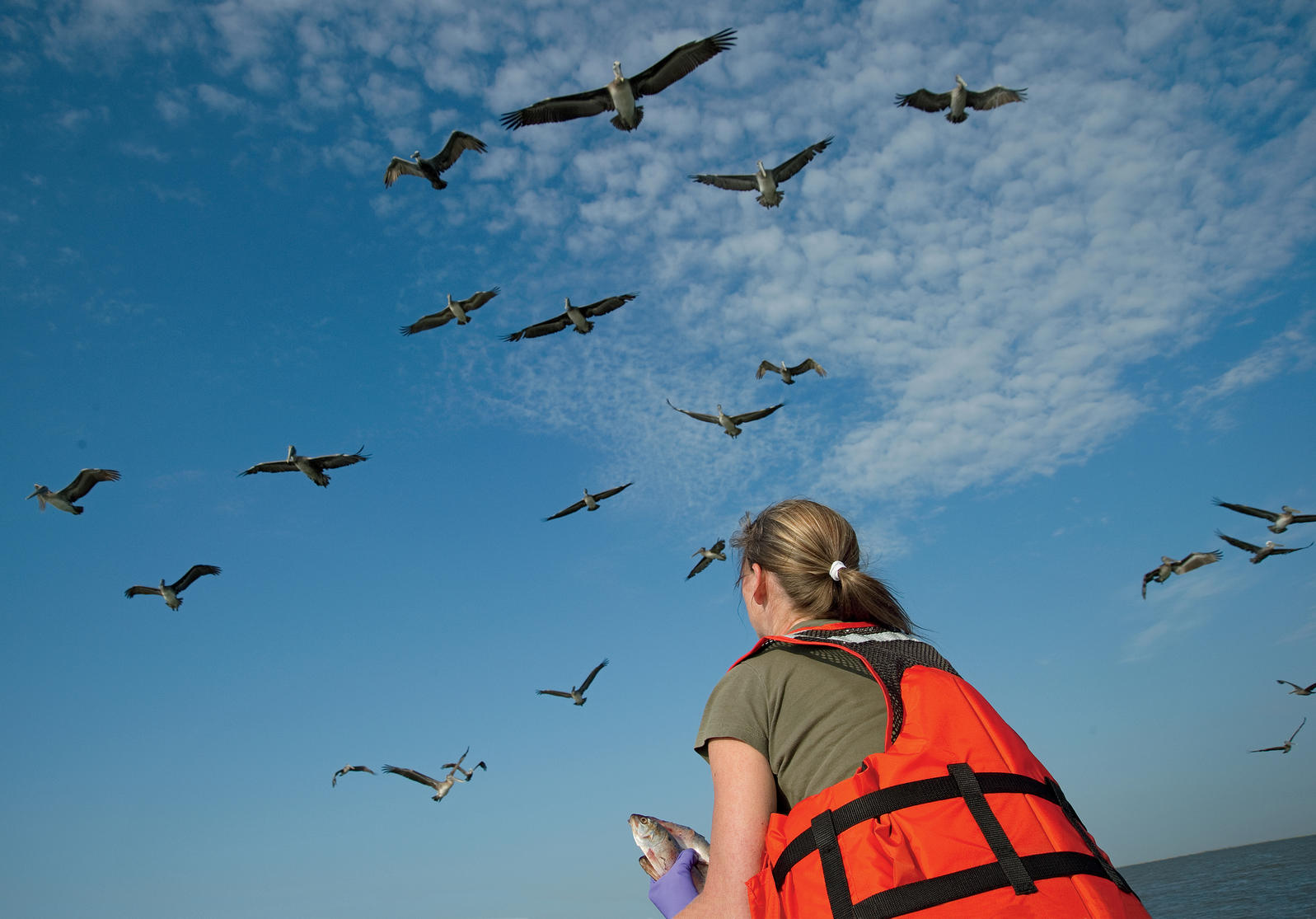 Volunteer Gena Estaville feeds hundreds of pelicans on Rabbit Island, off western Louisiana, and helps biologists from the Louisiana Department of Wildlife and Fisheries count released birds with yellow, red, pink, and green bands. Kim Hubbard