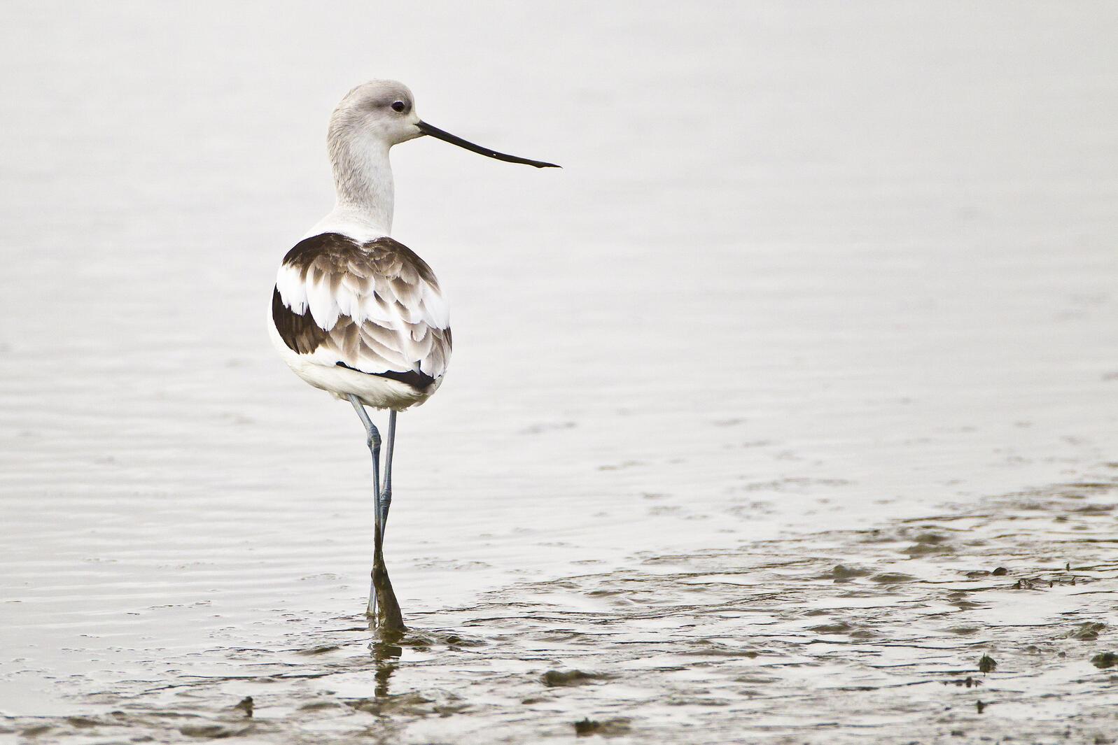 American Avocet. Glenn Nevill/Audubon Photography Awards
